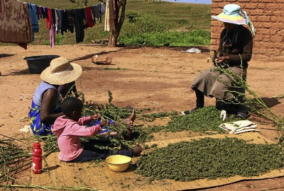 swaziland-cannabis-family