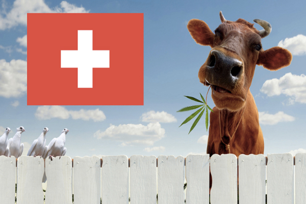 swiss cow cannabis